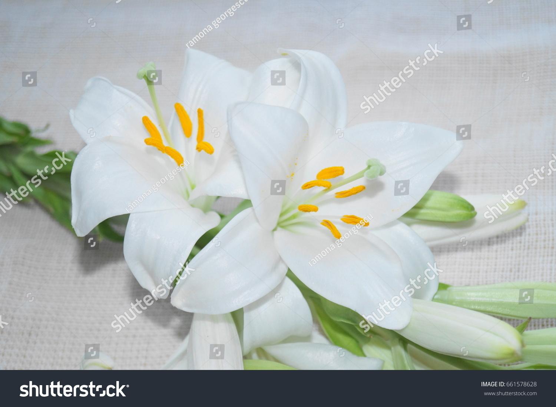 White madonna lily flower lilium candidum stock photo royalty free white madonna lily flower lilium candidum izmirmasajfo Gallery