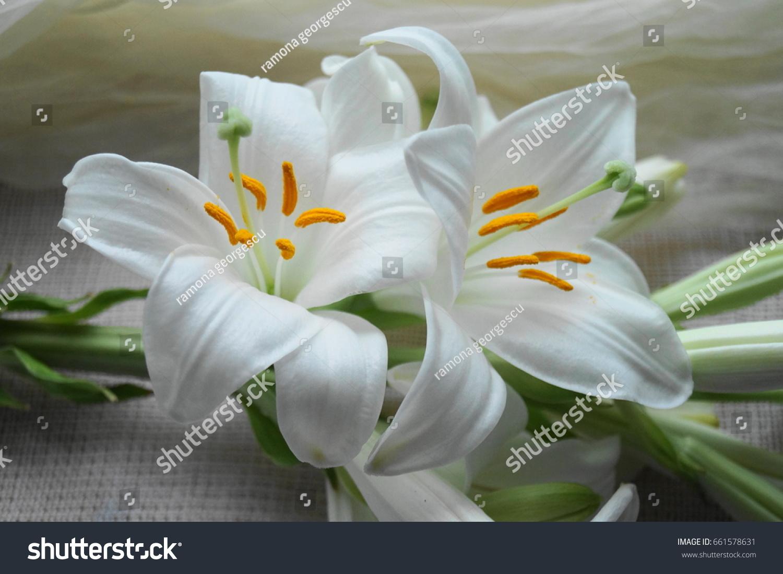 White madonna lily flower lilium candidum stock photo 100 legal white madonna lily flower lilium candidum izmirmasajfo