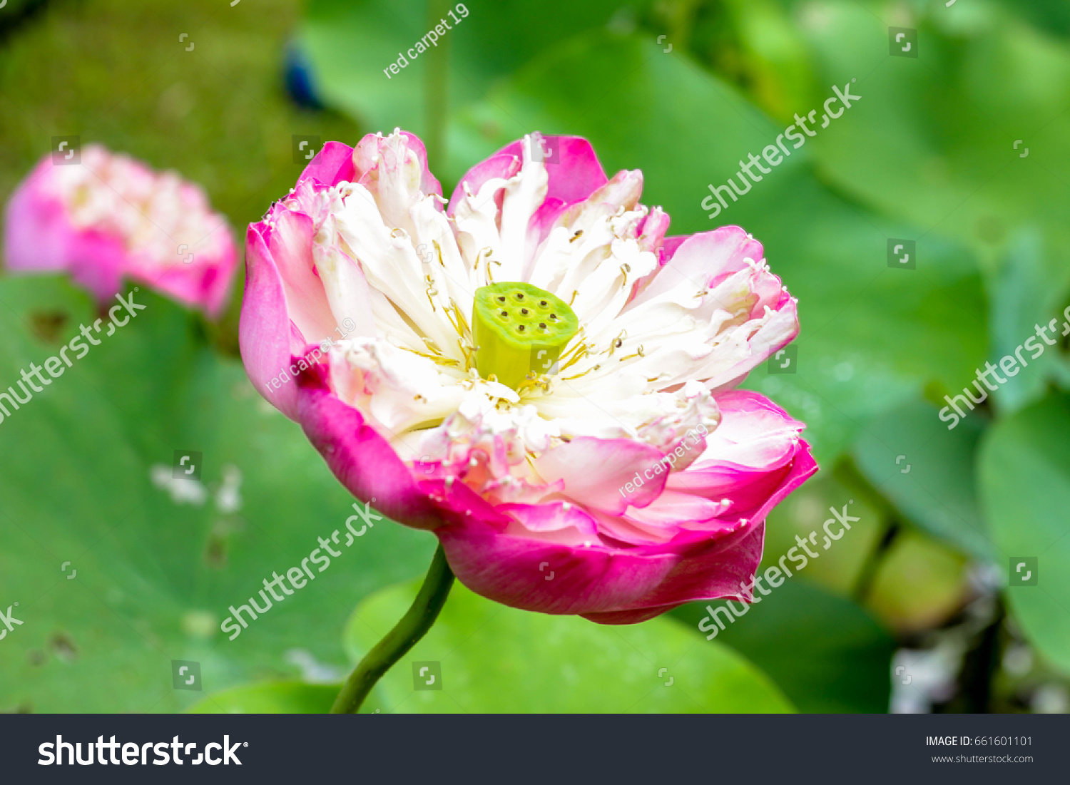Natural Lotus Flower Stock Photo Edit Now 661601101 Shutterstock