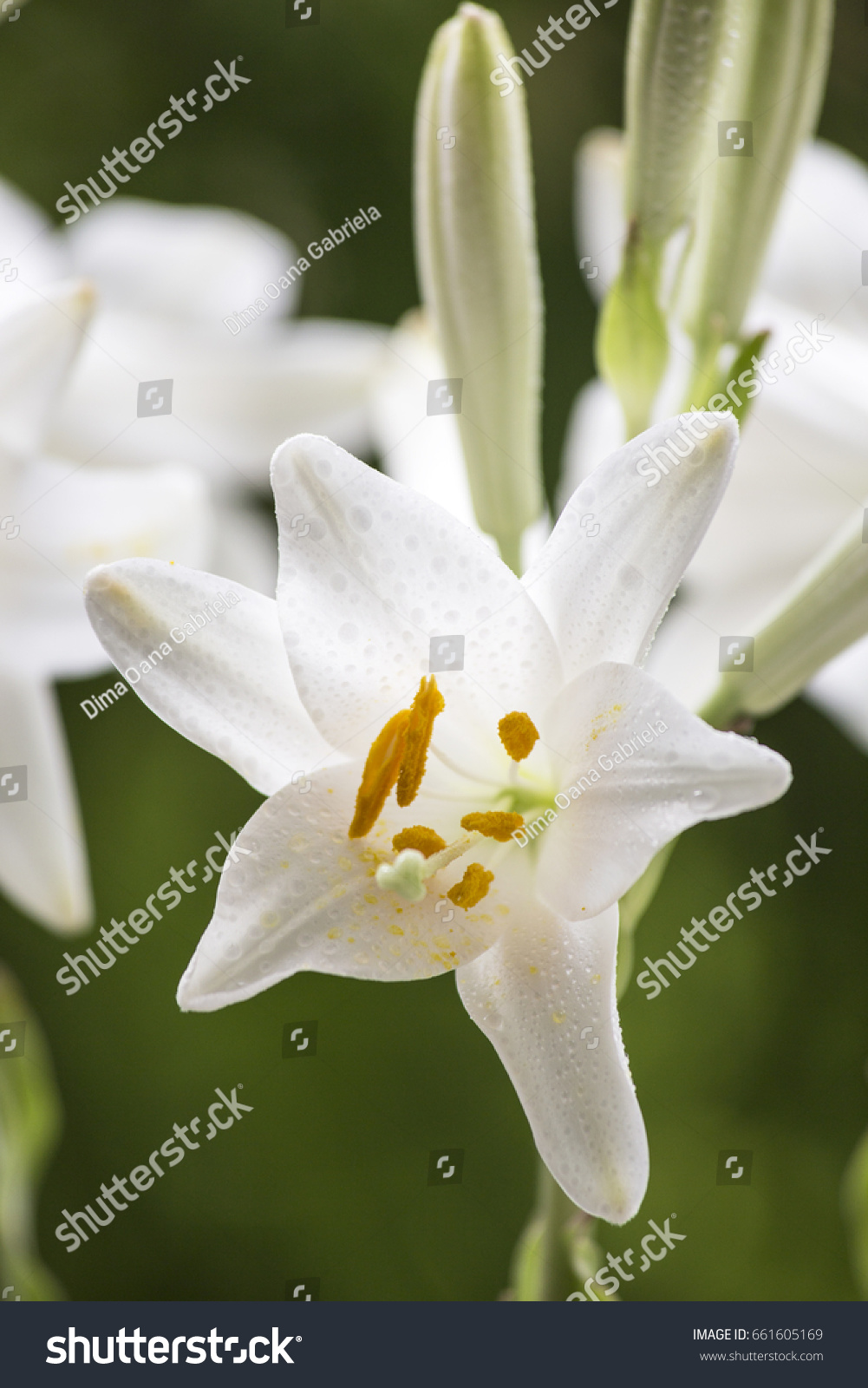 White Lily Flower In Garden Colorful Green Background Spring