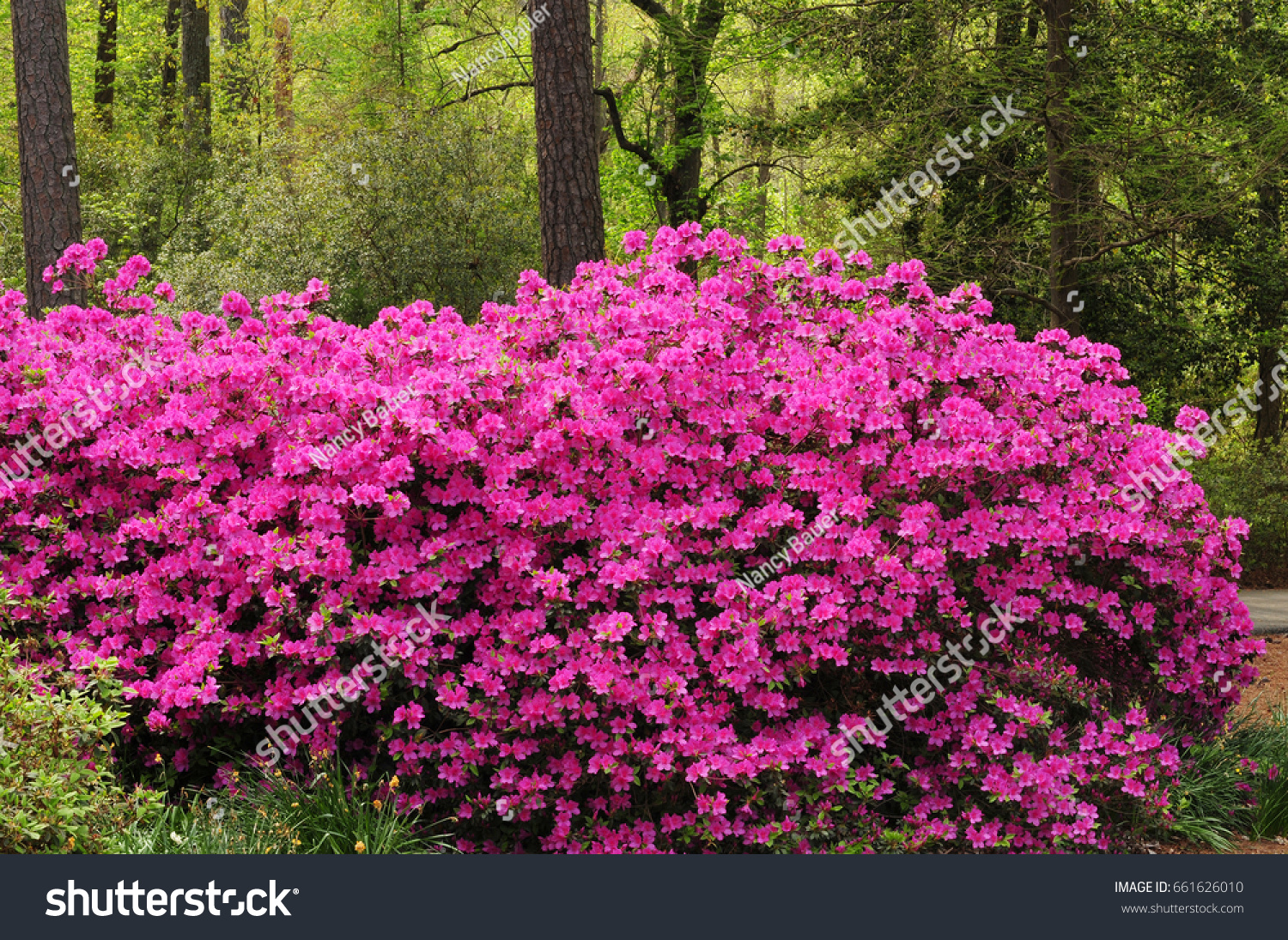 Pink Azalea Bushes Rhododendron Full Flowers Stock Photo Edit Now