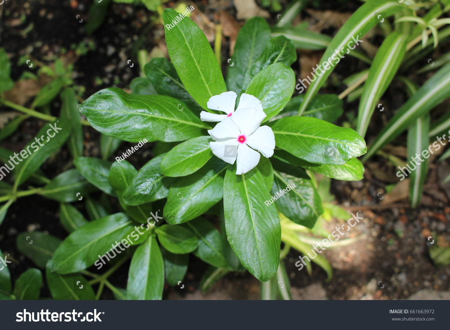 White Pink Madagascar Periwinkle Flower Or Stock Photo Edit Now