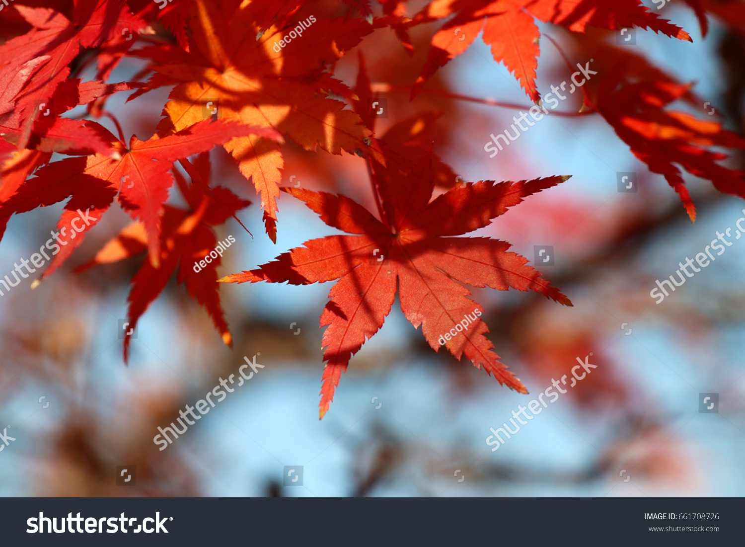Red maple leaves blooming with sky #661708726