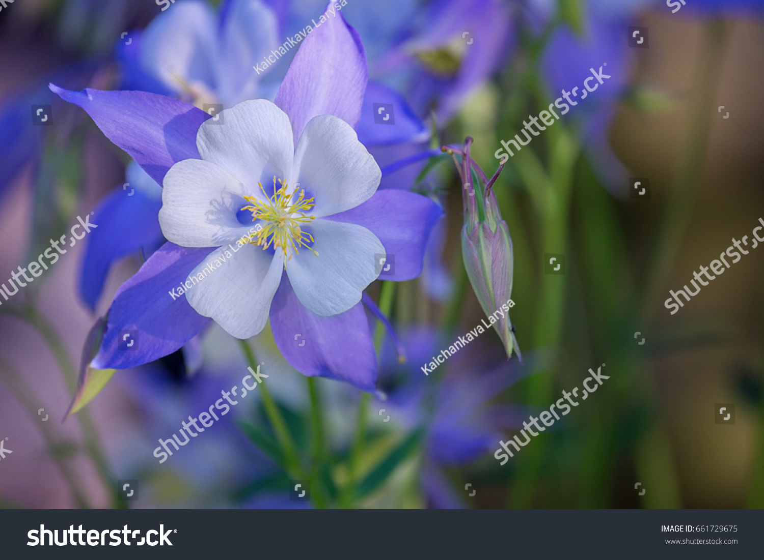 Blooming Columbine Flower Bud Closeup One Stock Photo Edit Now
