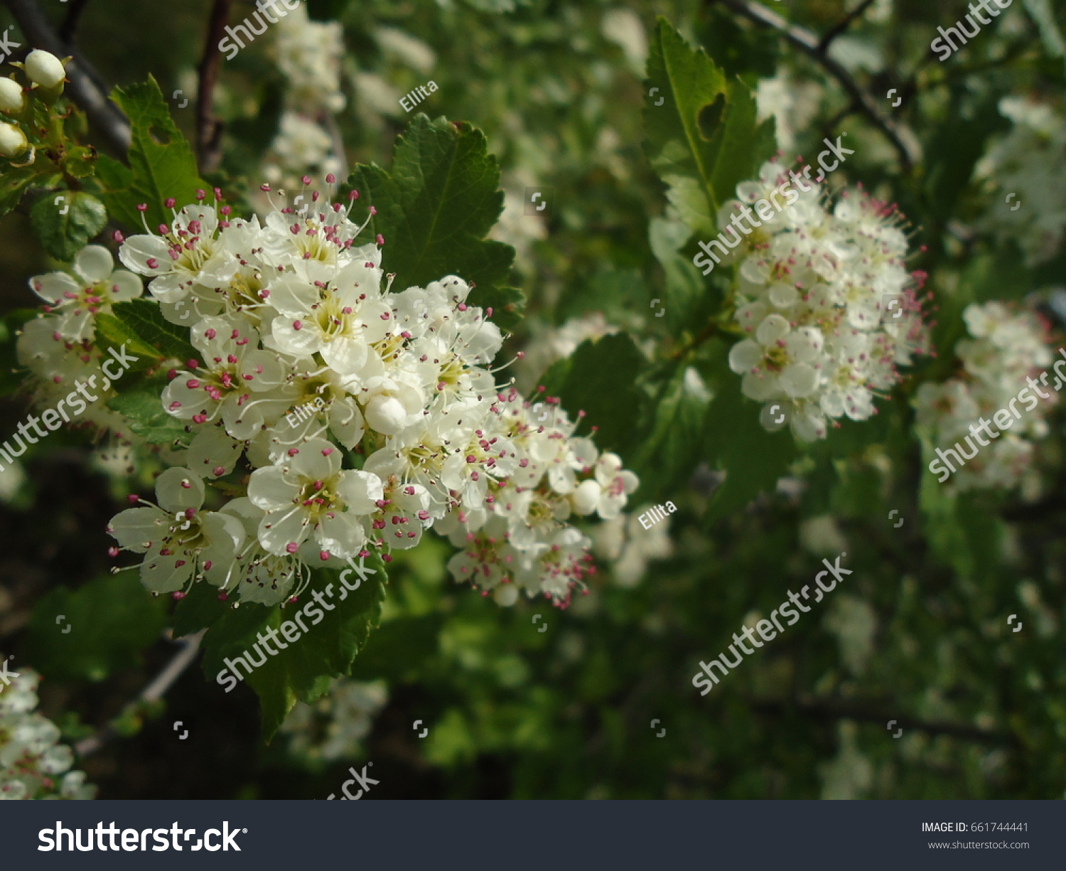 White flower clusters small white blooms stock photo edit now white flower clusters with small white blooms hawthorn in spring mightylinksfo