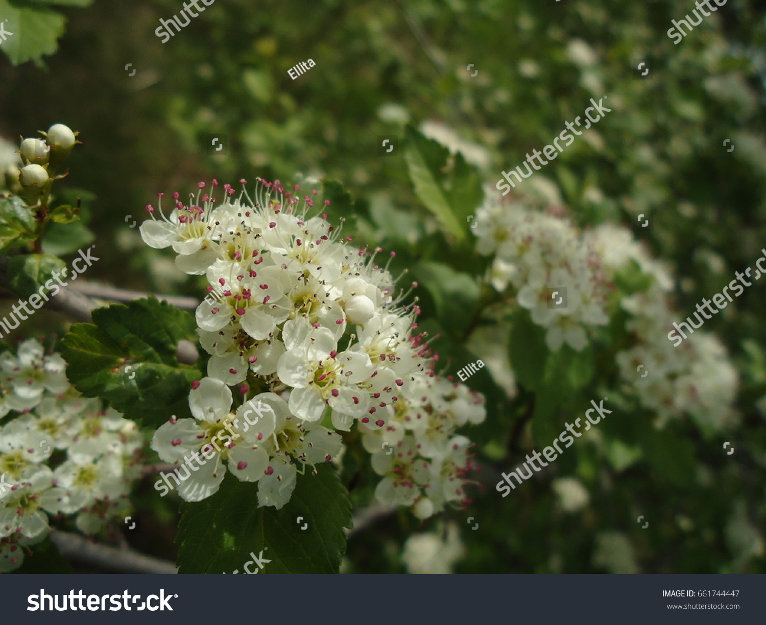 White Flower Clusters Small White Blooms Stock Photo Royalty Free