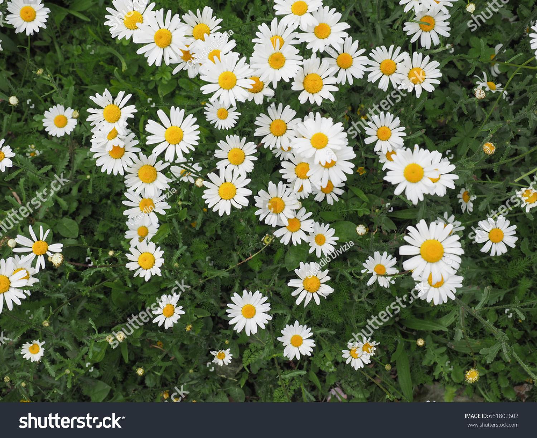 White daisy bellis perennis aka common stock photo edit now white daisy bellis perennis aka common daisy or lawn daisy or english daisy flower izmirmasajfo