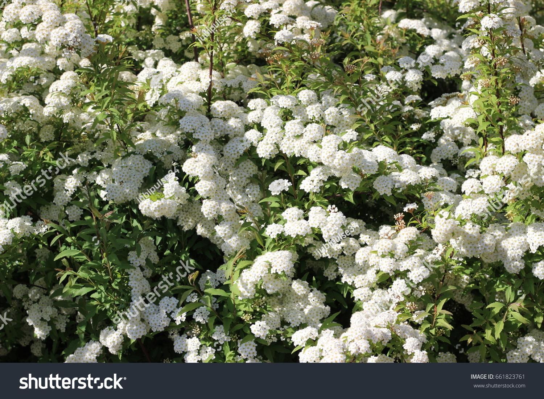 White Flower Of A Spirea Ez Canvas
