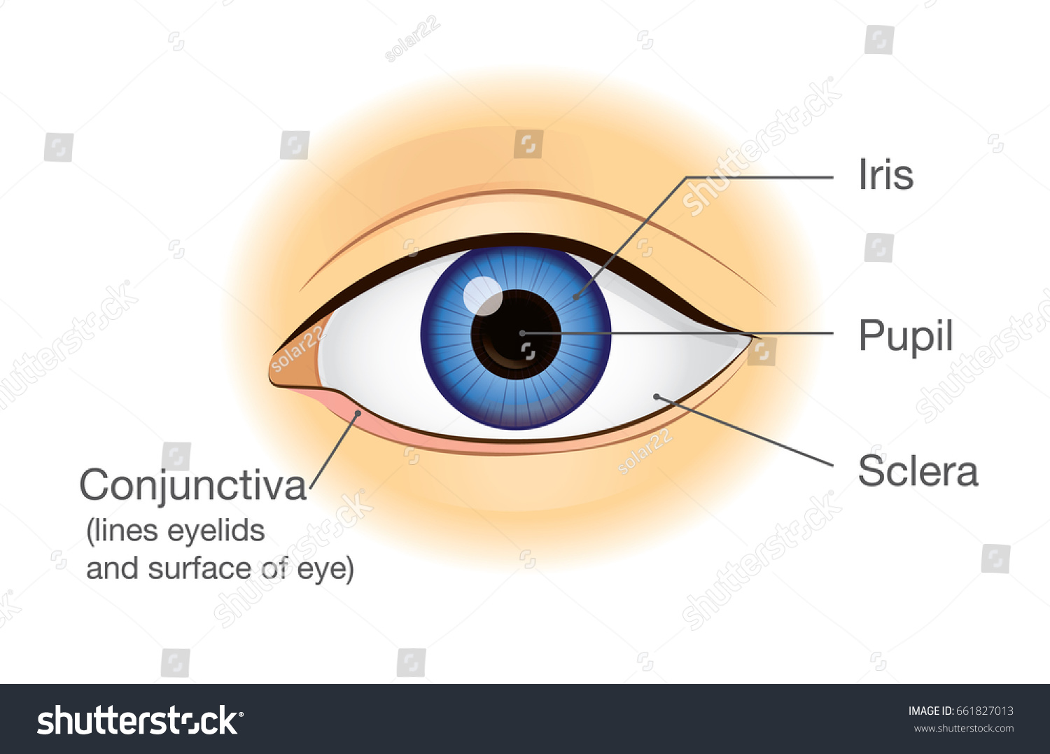 Human Eye Anatomy Front View Illustration Stock Vector 661827013 ...