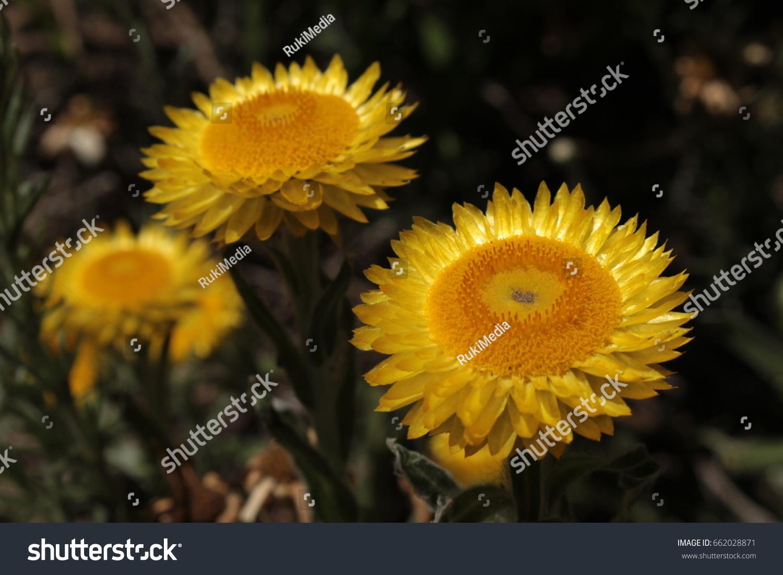 Yellow Everlasting Flower Or Leabane Yellow Stock Photo Edit Now