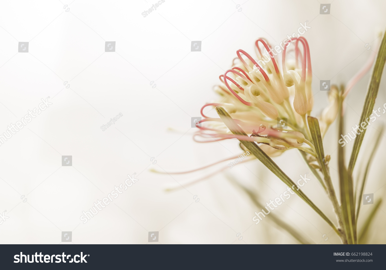 Sympathy card background australian grevillea flower stock photo sympathy card background with australian grevillea flower in soft pastel colors and copy space for kristyandbryce Images