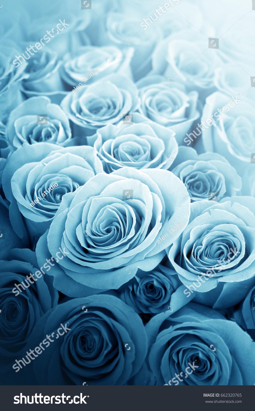 Beautiful blue roses decoration indoor pictures stock photo edit beautiful blue roses for decoration indoor pictures and postcards izmirmasajfo