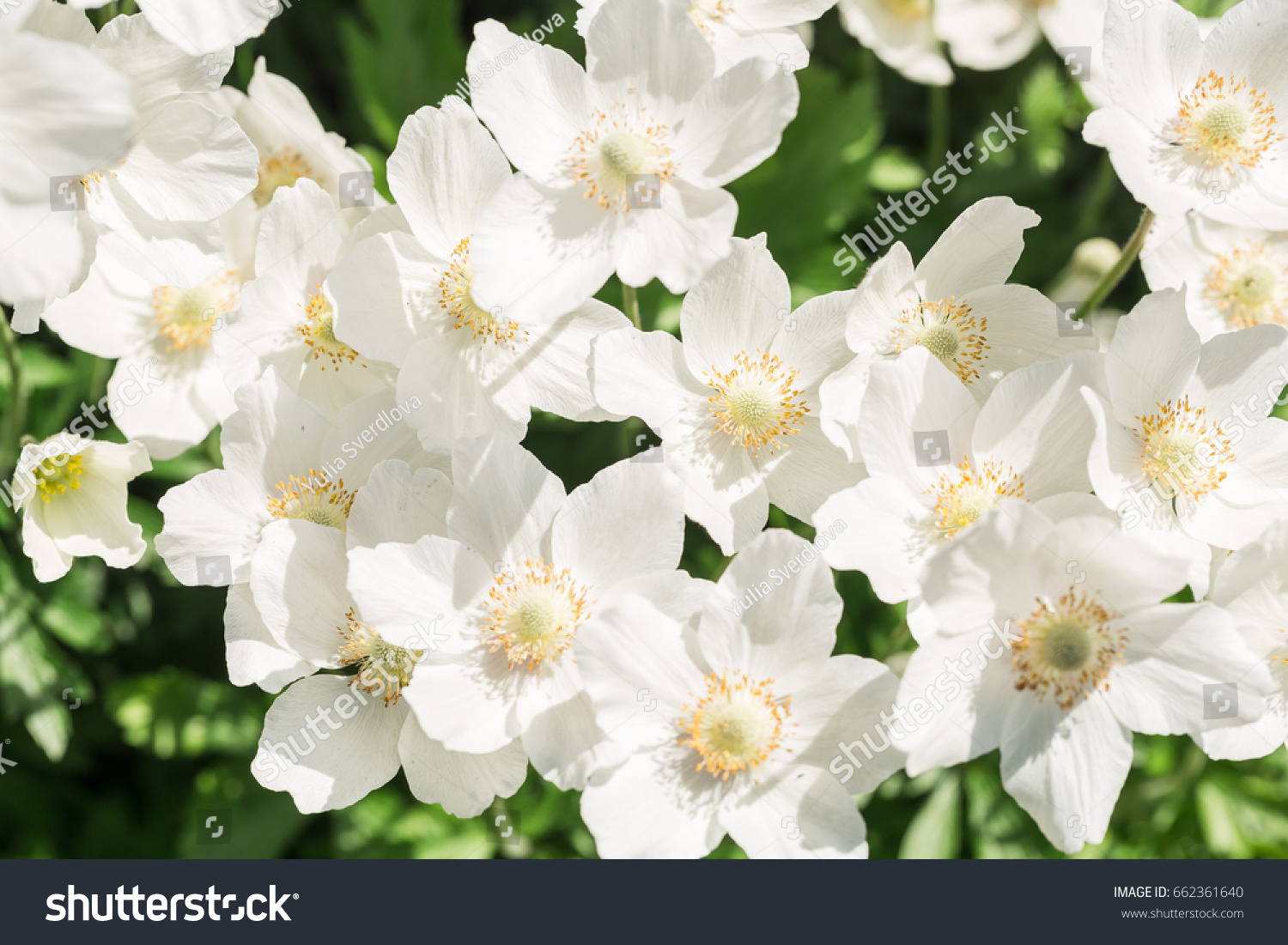 Beautiful White Flowers On A Flower Bed Ez Canvas