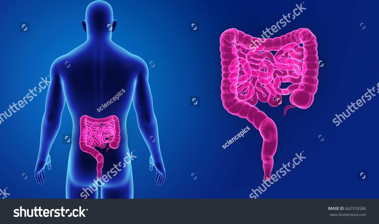 Small Large Intestine Posterior View 3 D Stock Illustration ...