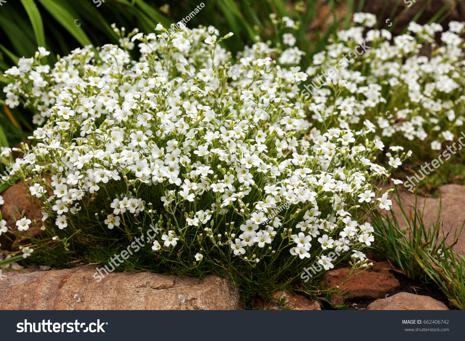 Ground Cover Plant Alpine Hills White Stock Photo Edit Now