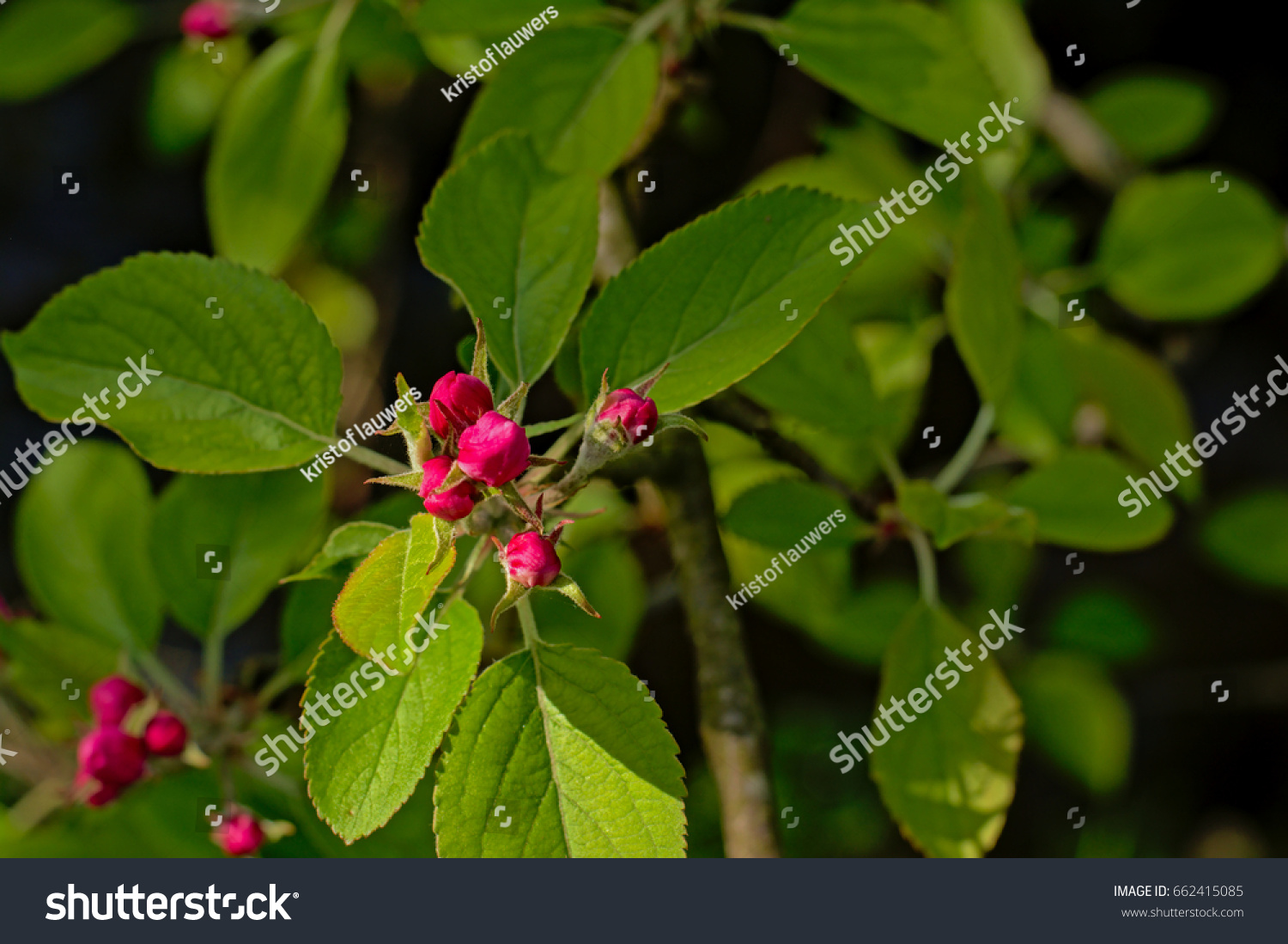 Pink Prunus Flower Buds And Green Leafs On A Sunny Spring Day