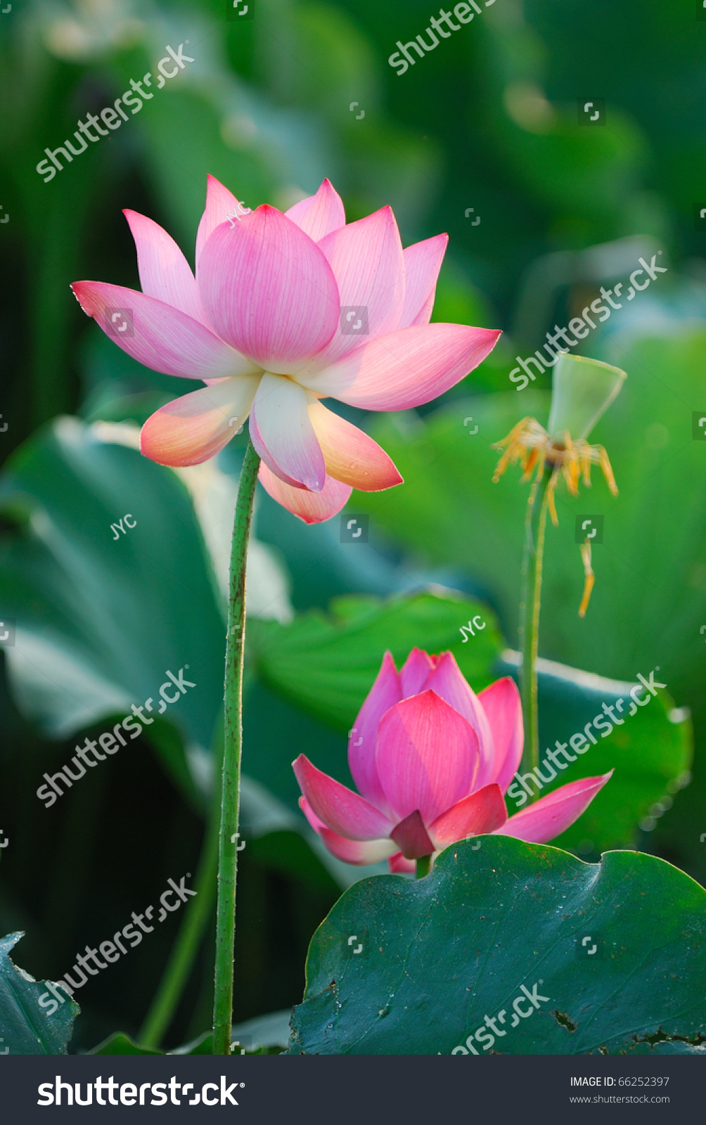 Three Stages Lotus Birth Death Stock Photo Edit Now 66252397