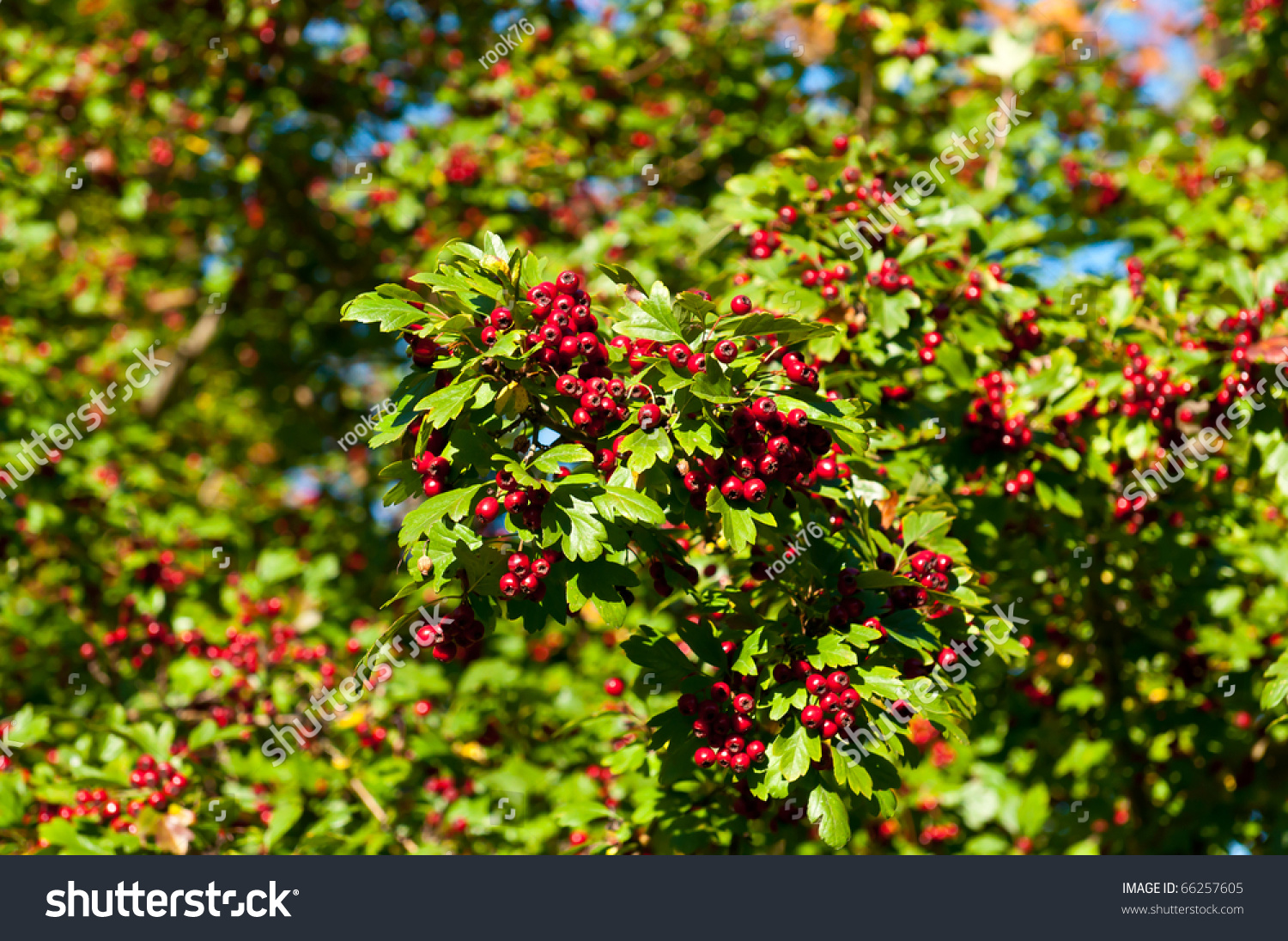 Walmart Kitchen Canisters Tree With Clusters Of Small Berries 28 Images Red