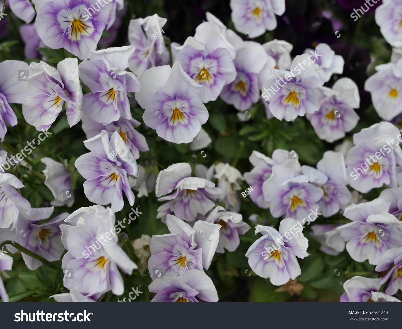 White Purple Flowers Yellow Center Garden Stock Photo Edit Now