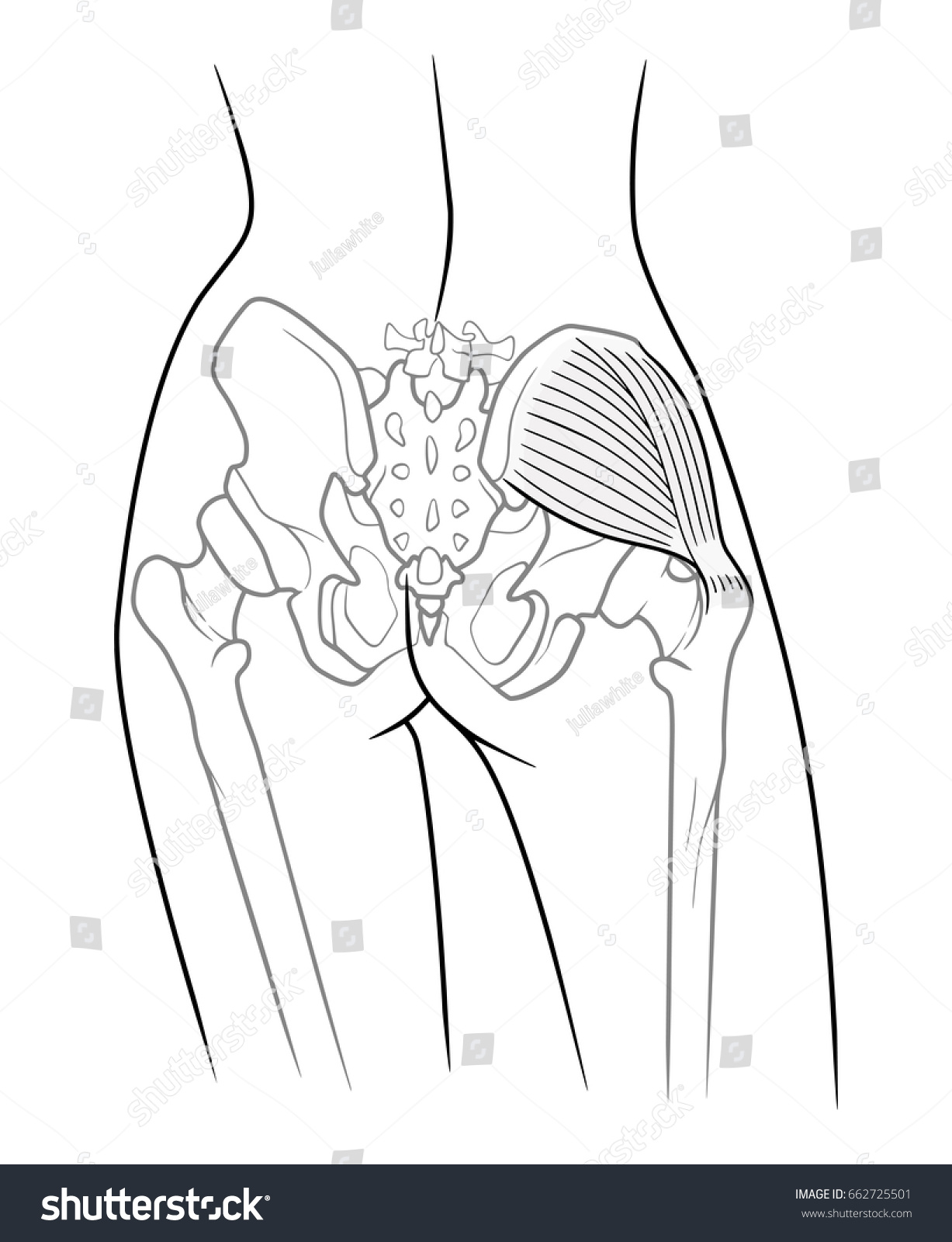 Internal Structure Pelvic Girdle Female Skeleton Stockillustration