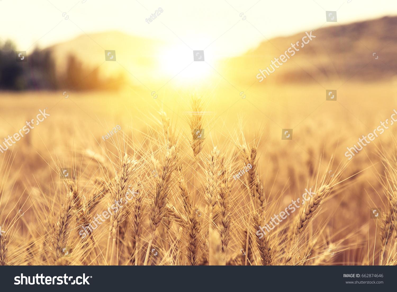 Wheat Beards.Wheat field morning sunrise and yellow sunshine