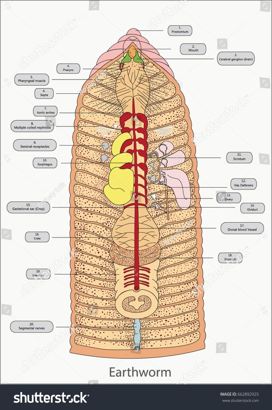 Earthworm Anatomy Vector Illustration Stock Vector 662892925 ...