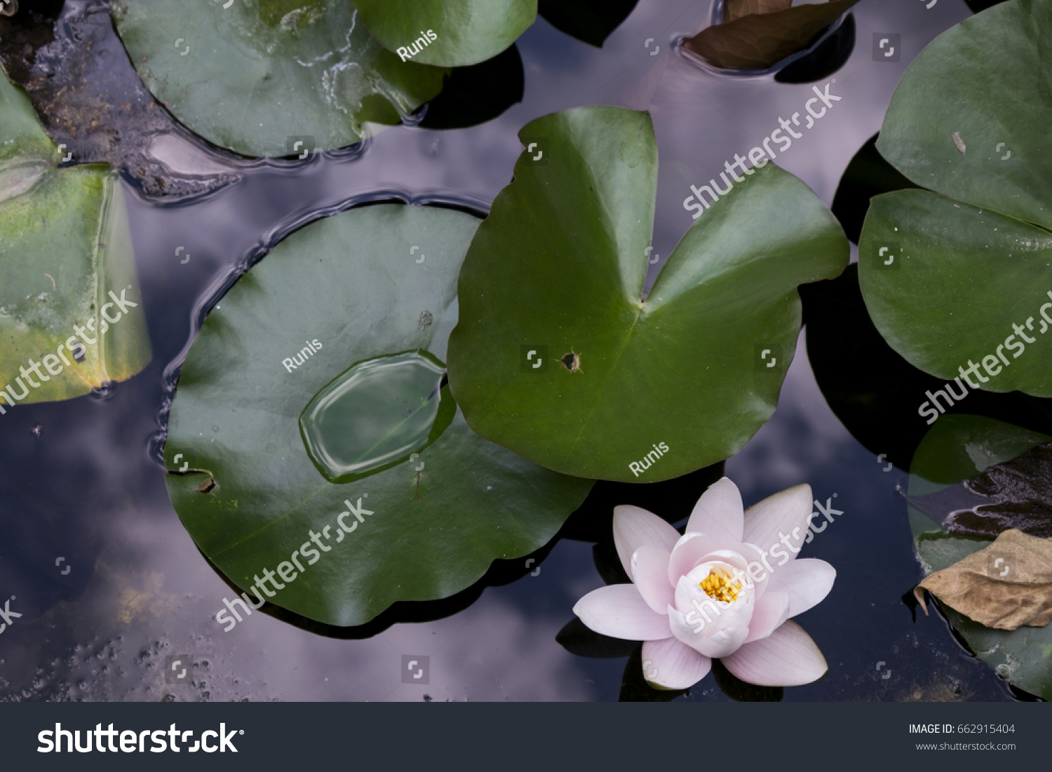 High angle view white lotus flower stock photo royalty free high angle view of white lotus flower near lily pads in pond after summer rain izmirmasajfo