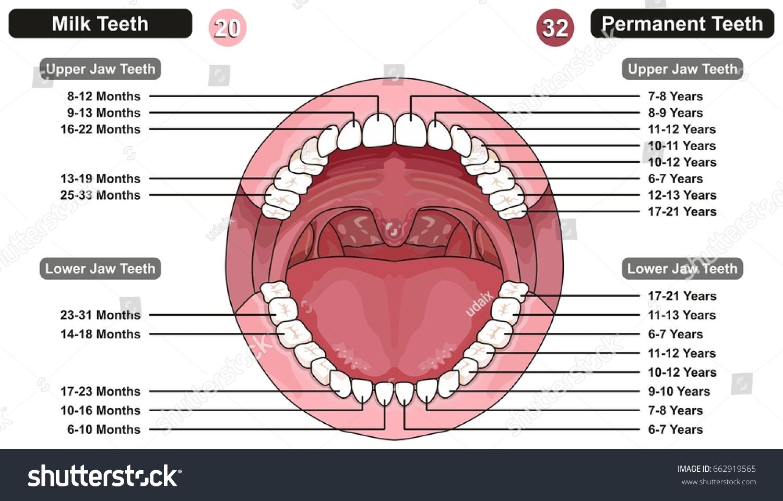 Когда меняются молочные зубы у детей схема фото