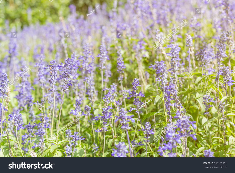 Meadow Sage Salvia Pratensis Herbaceous Perennial Plant Field
