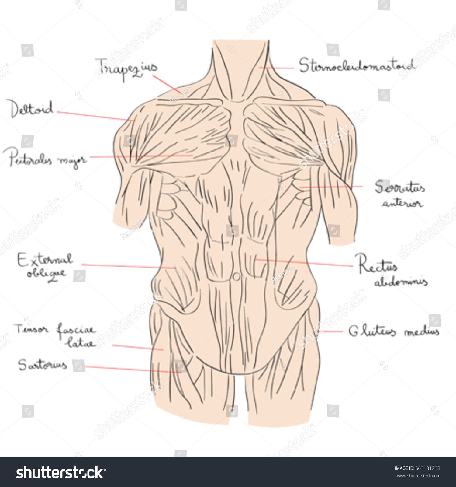 Hand Drawn Illustration Torso Muscles Isolated Stock Vector HD ...