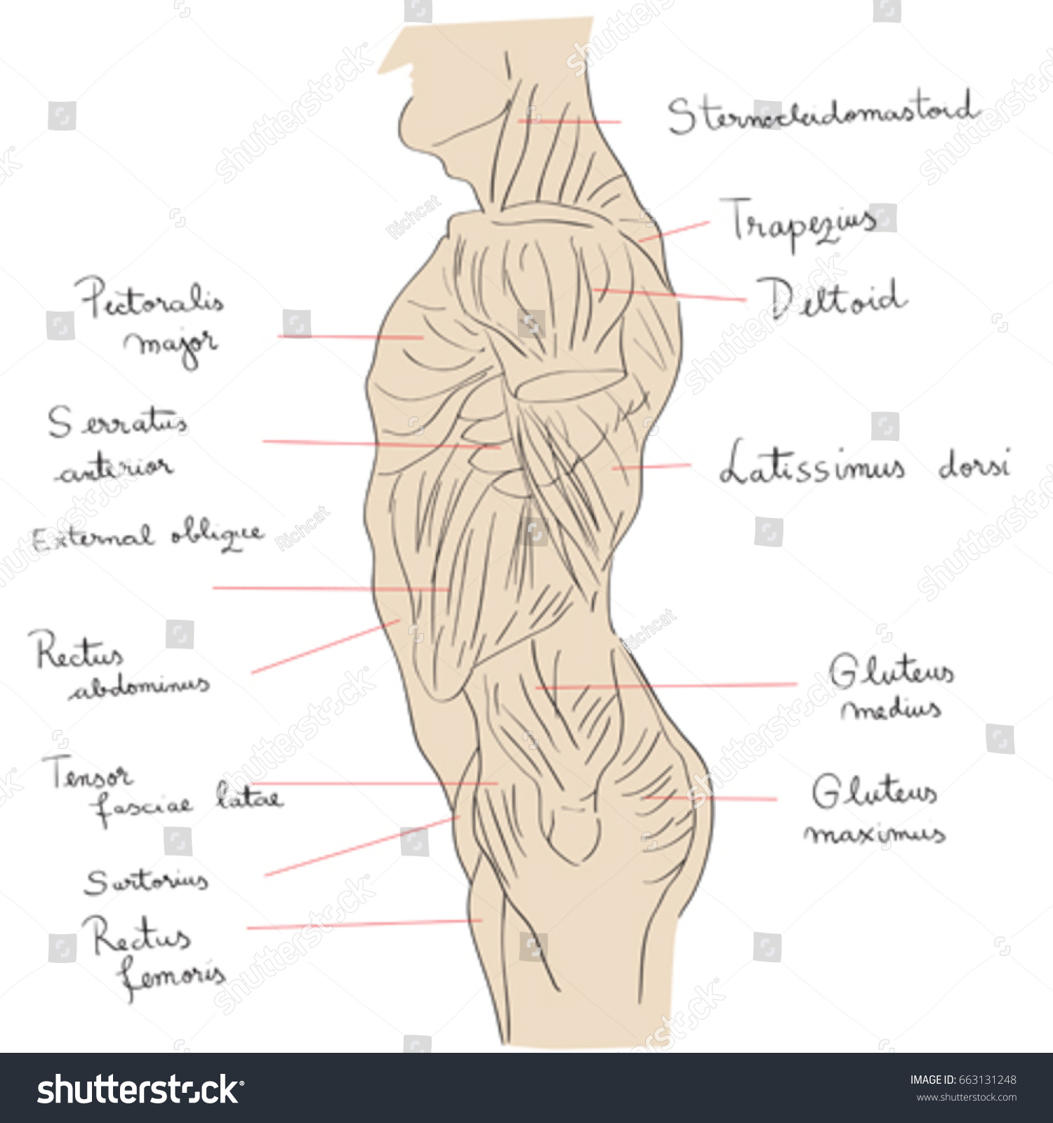 Hand Drawn Illustration Torso Muscles Isolated Stock Vector ...