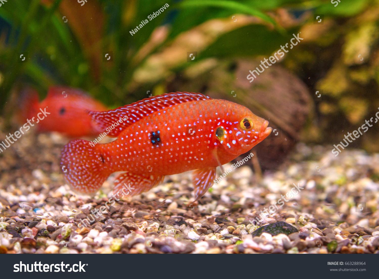 Hemichromis Lifalili Aquarium Fish Stock Photo (Safe to Use ...