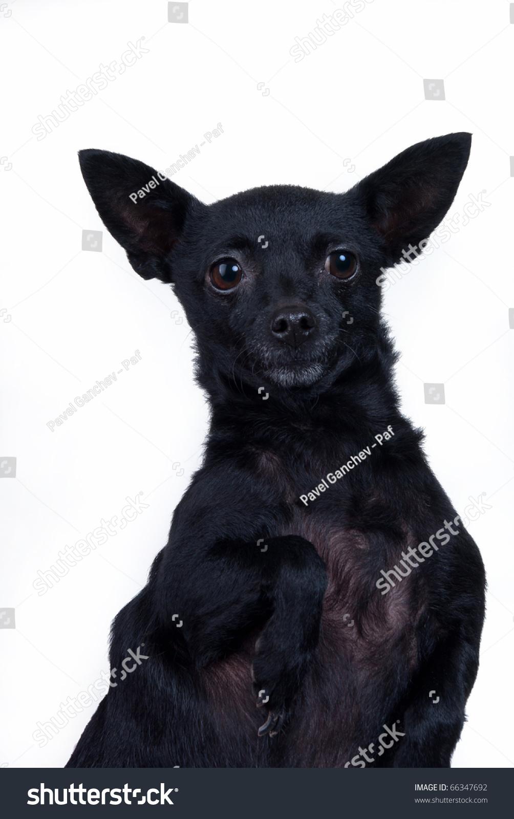 пинчер черный фото