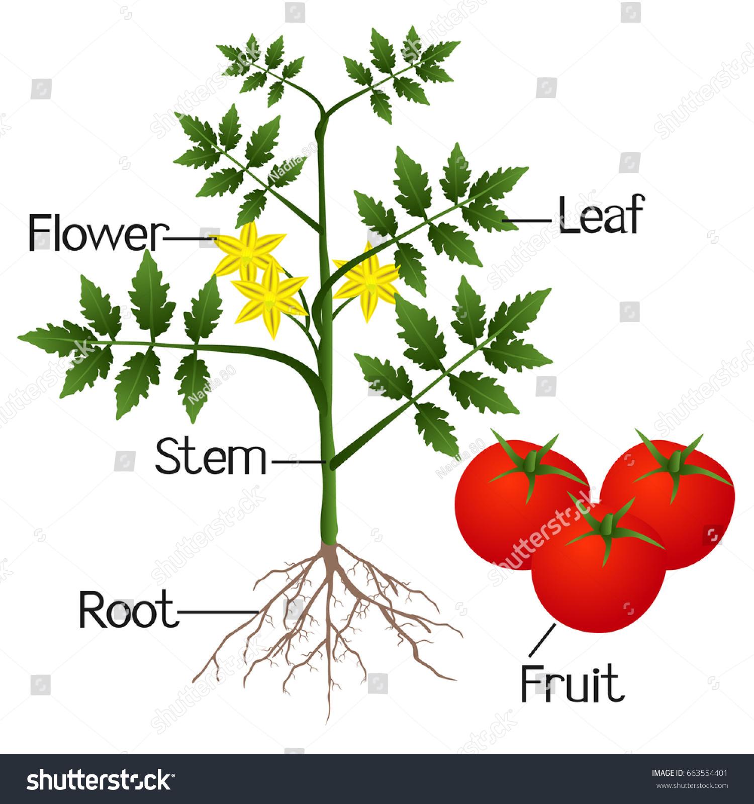 File Mature Flower Diagram Svg Manual Guide