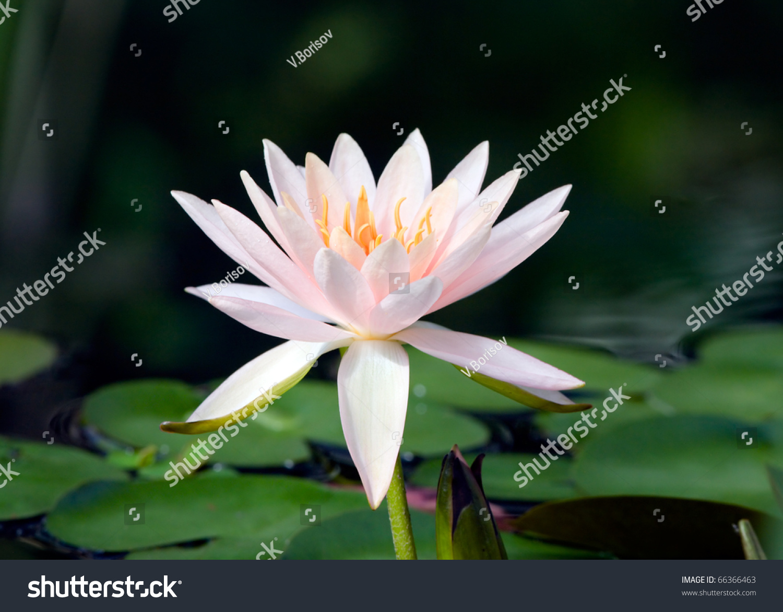 Lotus flower ez canvas mightylinksfo