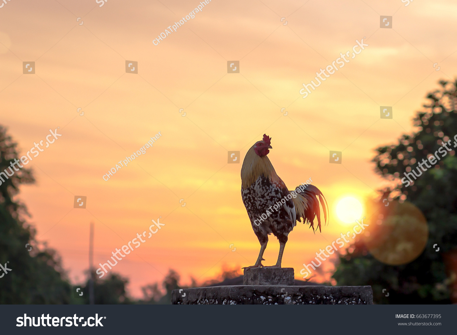 Early morning of new day concept: Silhouette rooster on blurred beautiful sunrise sky with sun light in farm autumn background #663677395