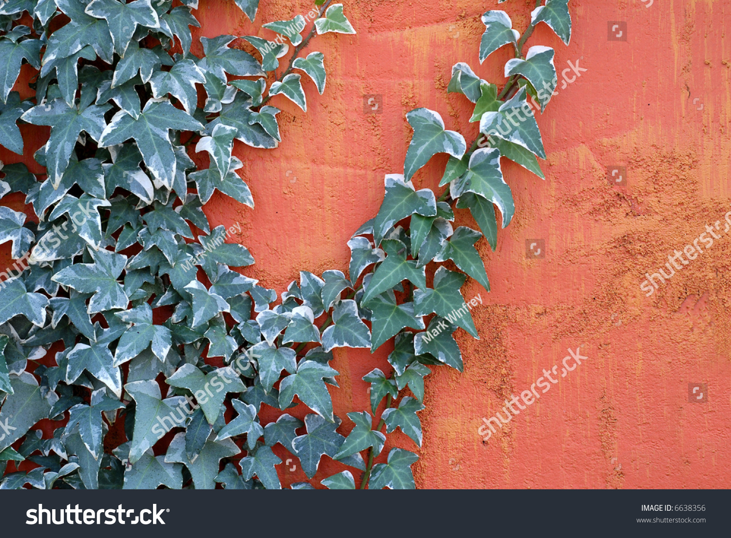 Ivy climbing on a textured bright colored wall