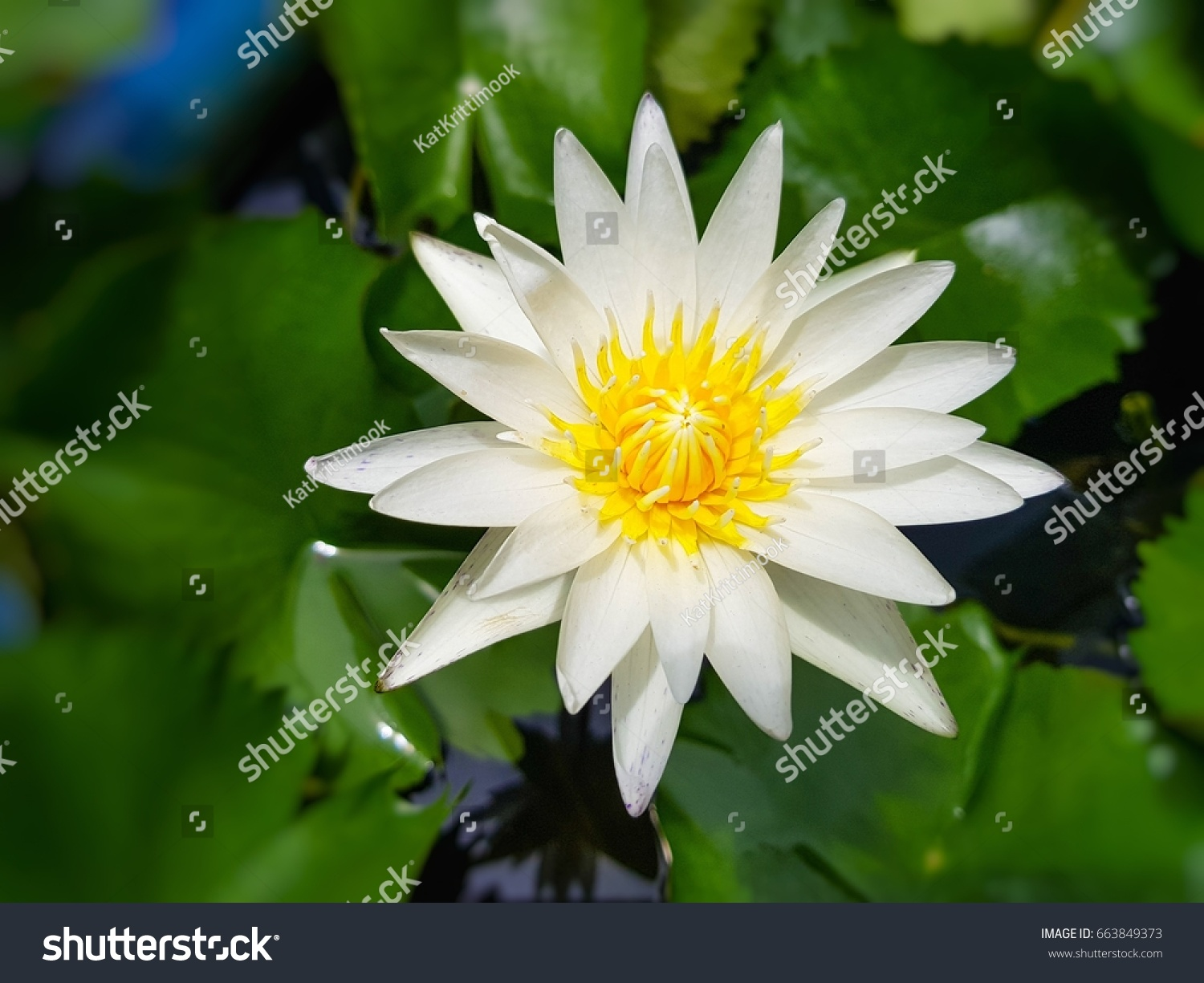 White lotus flower meaning image collections flower wallpaper hd white lotus flower meaning choice image flower wallpaper hd old fashioned white lotus flower meaning frieze izmirmasajfo