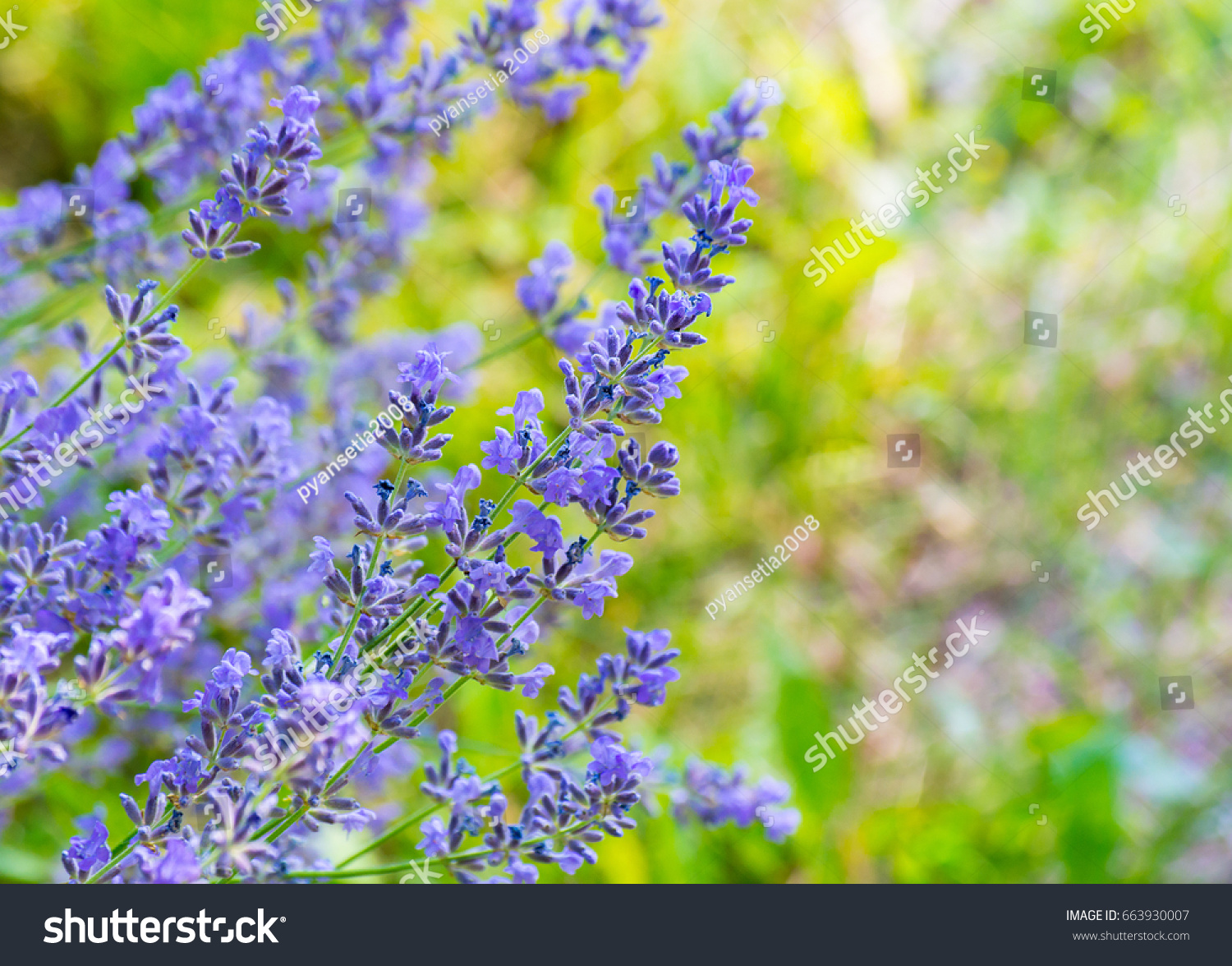 Beautiful lavender flowers shrub garden blurred stock photo royalty beautiful lavender flowers shrub in garden with blurred natural background izmirmasajfo