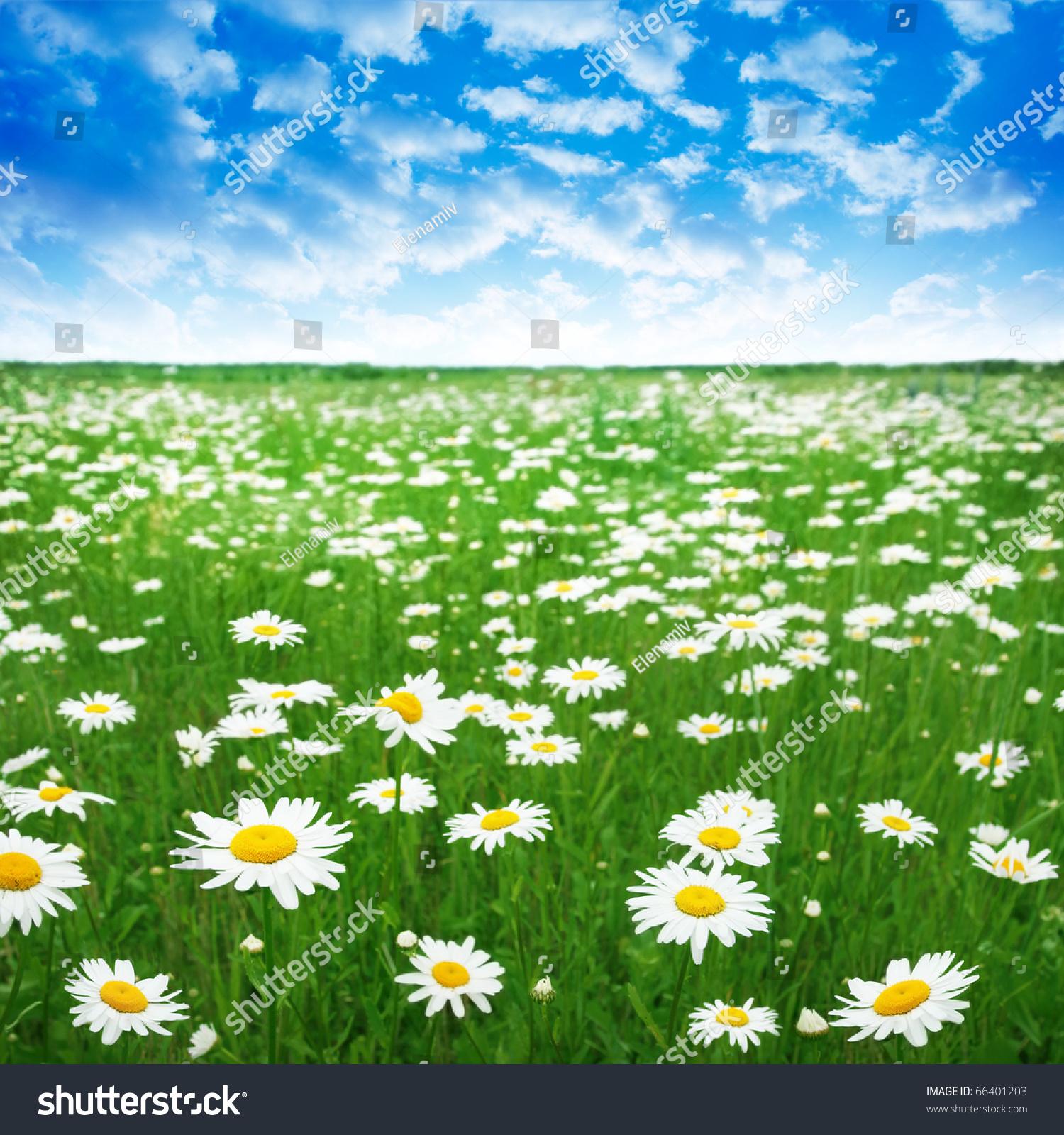 daisy field mountain sky - photo #4
