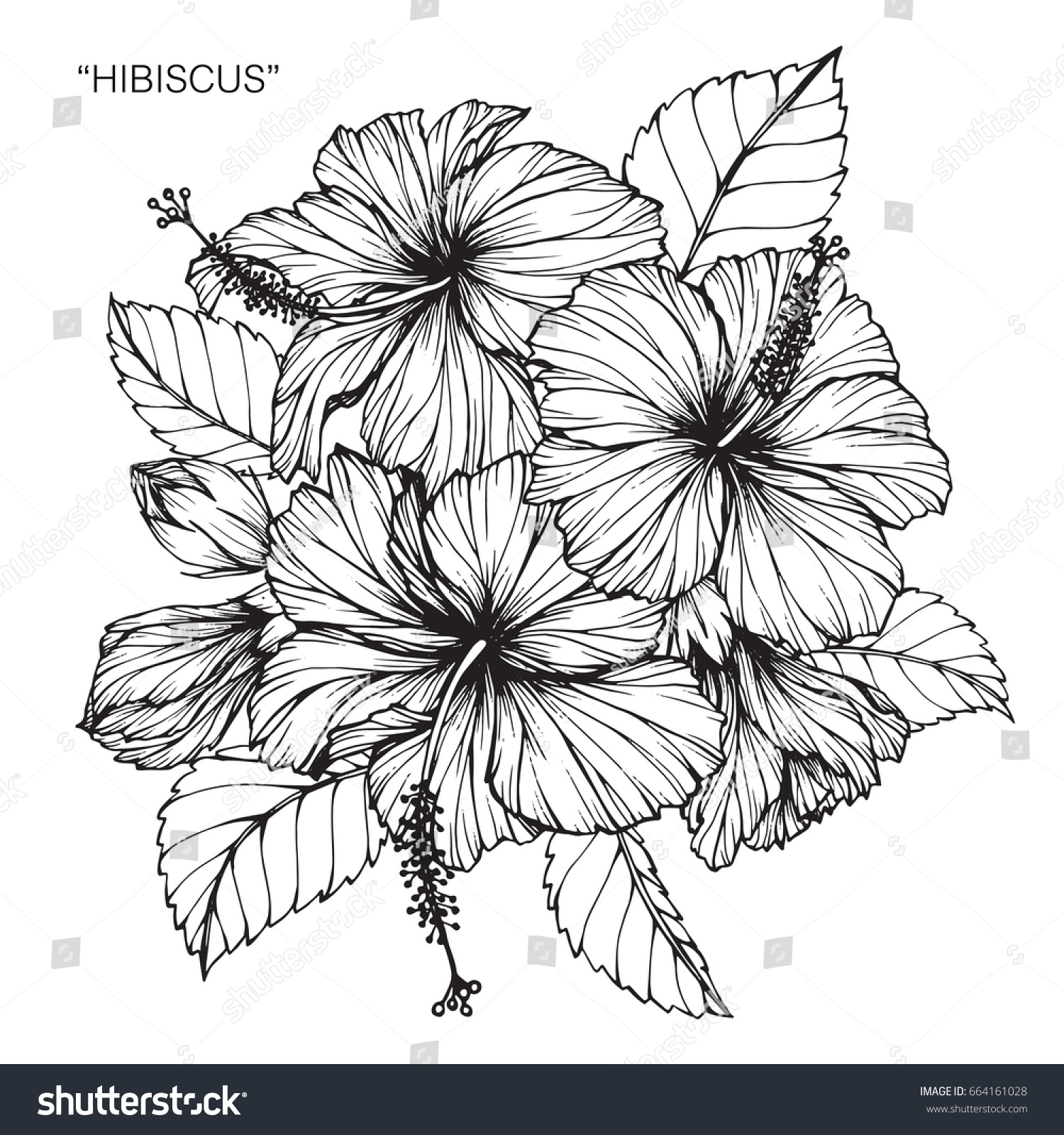 Hibiscus Flower Line Drawing : Hibiscus flowers drawing sketch lineart on stock vector