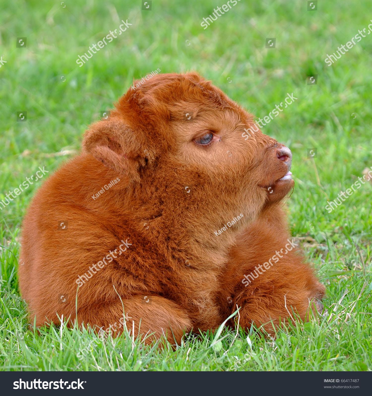 Stock Photo Cute Calf
