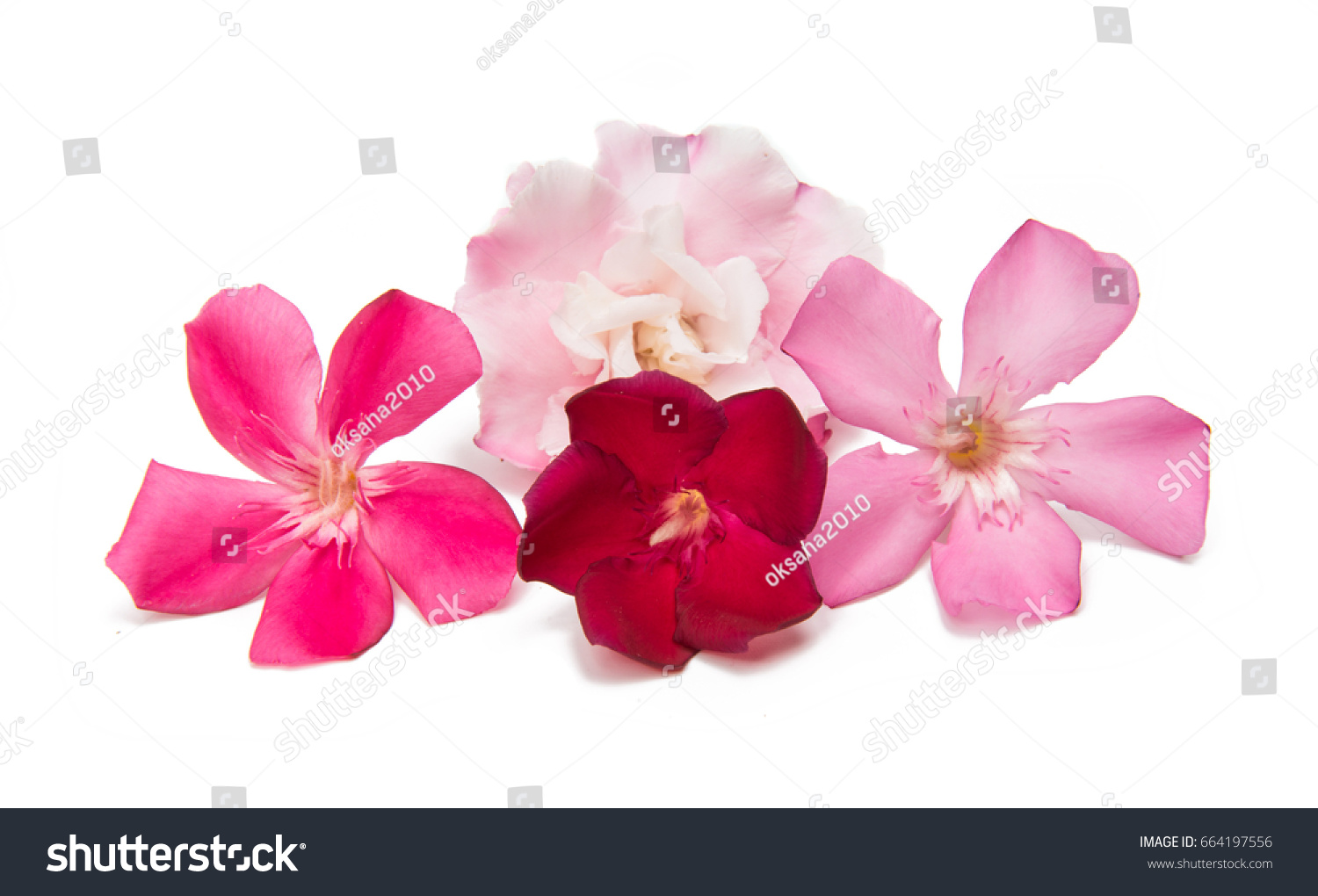 Oleander Flower Isolated On White Background Stock Photo Edit Now