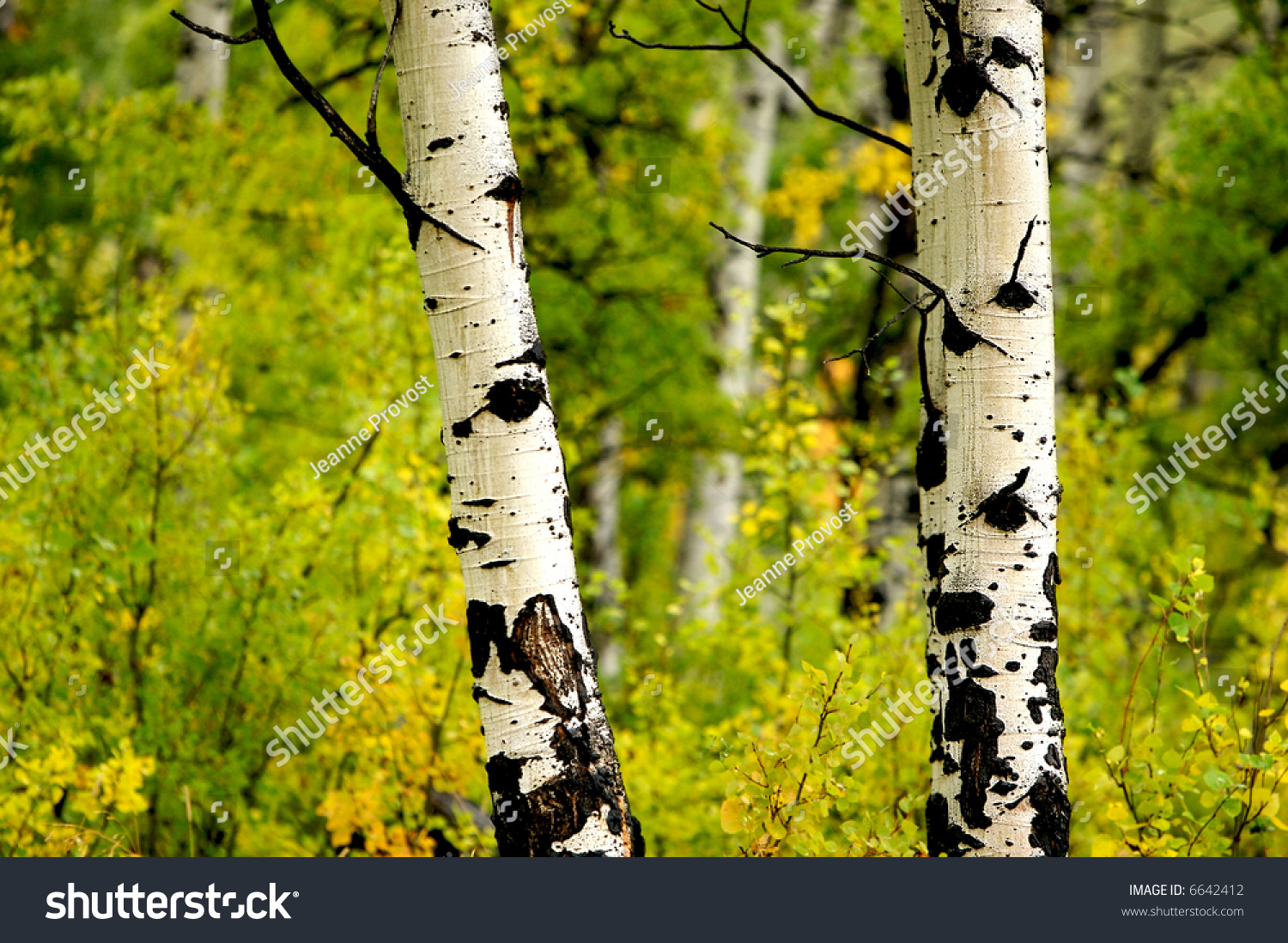 Two Aspens Dressed Fall Color Glacier Stock Photo 6642412 - Shutterstock