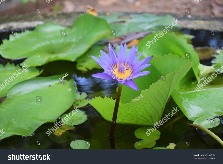 Lotus Lotus Flower Lotus Pond Lotus Stock Photo Edit Now 664407988