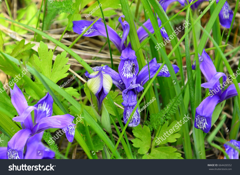 Blue iris flowers green grass latin stock photo edit now 664426552 blue iris flowers in green grass latin iris black ant the meadow izmirmasajfo
