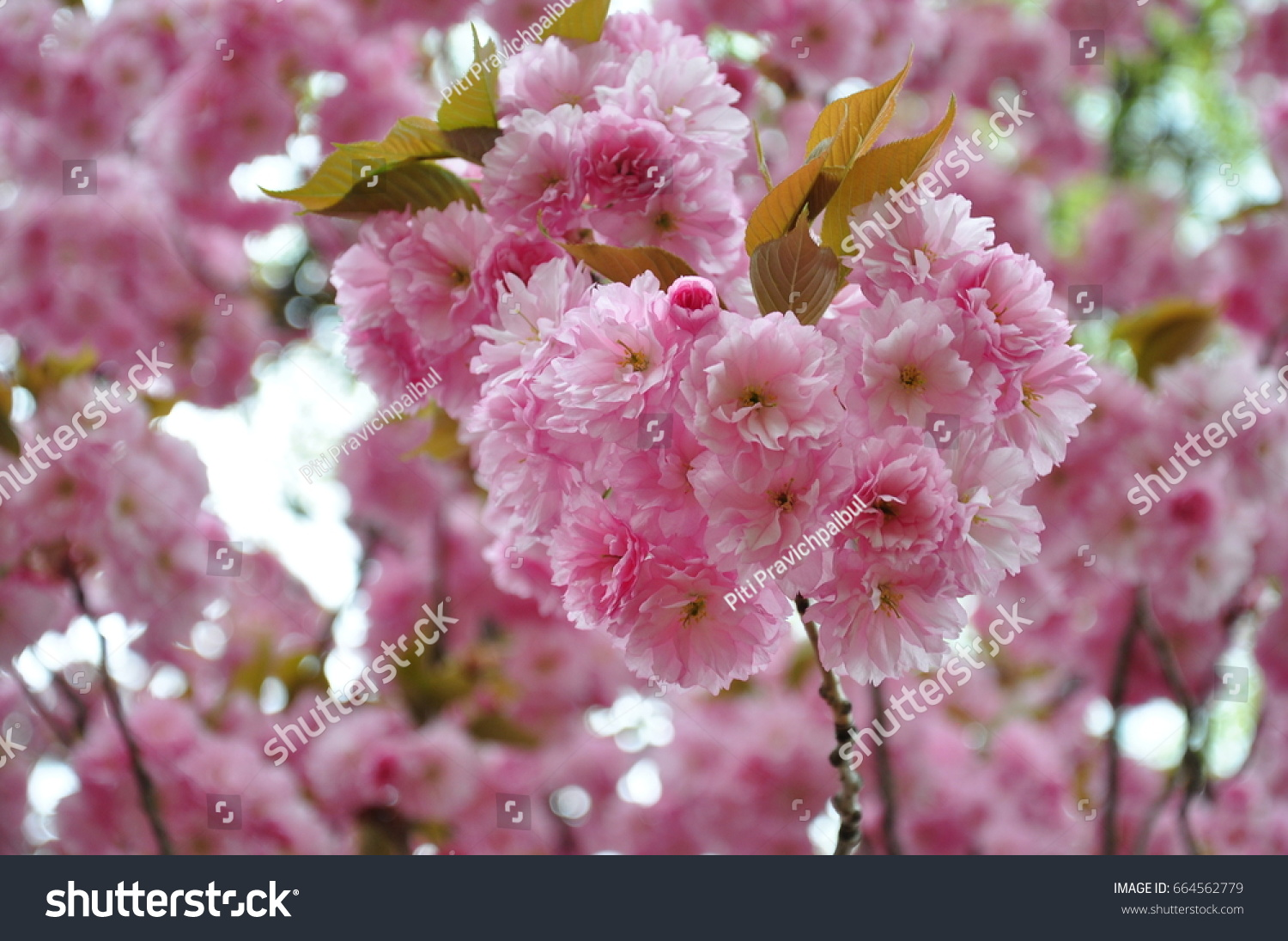 Pink Flowers On The Tree During Spring Ez Canvas