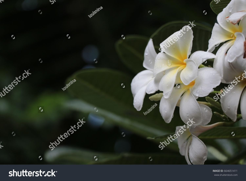 White Plumeria Beautiful Flowers Raindrops After Stock Photo Edit