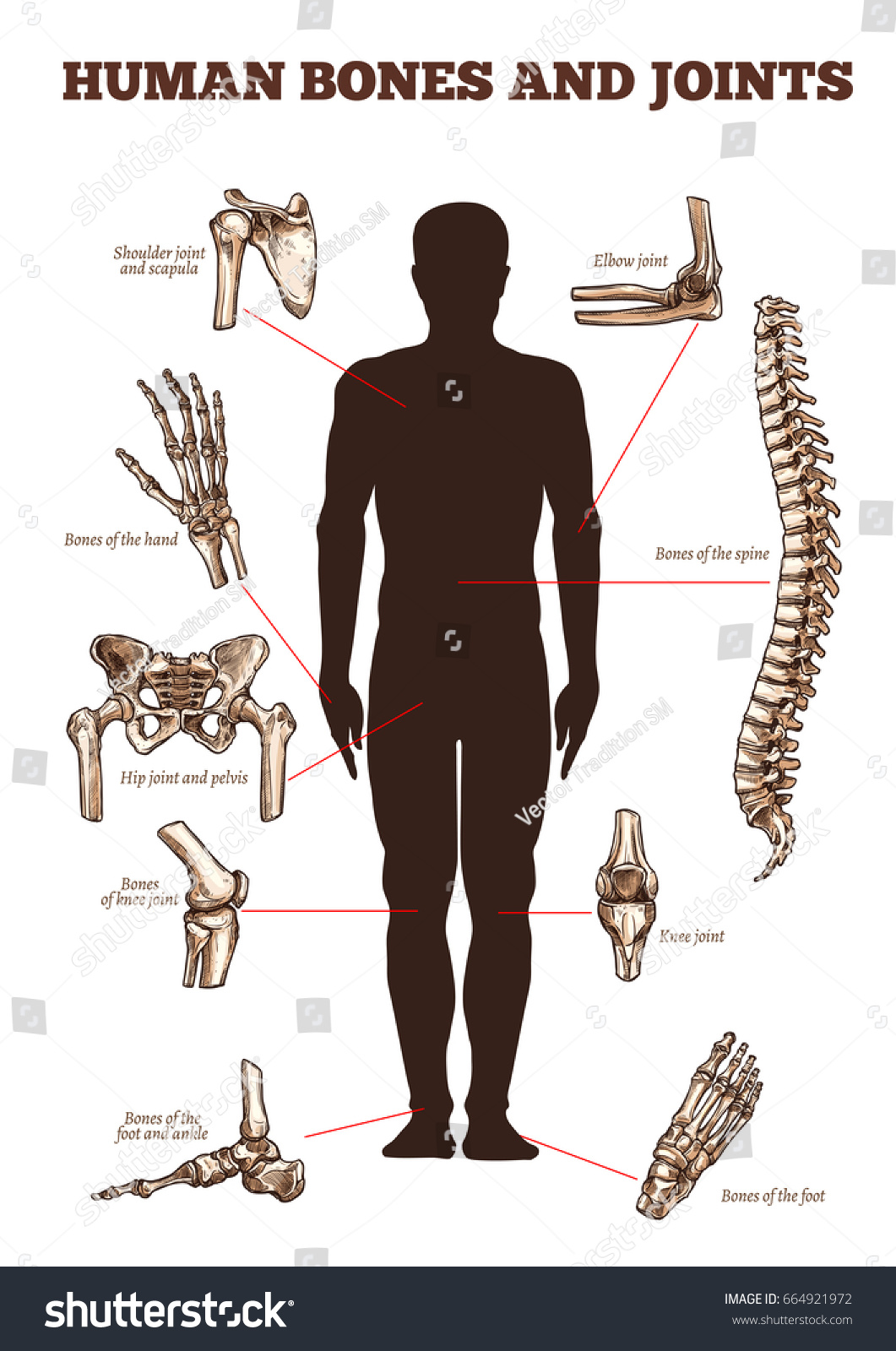 Human Bones Joints Vector Medical Anatomy Stock Photo (Photo, Vector ...