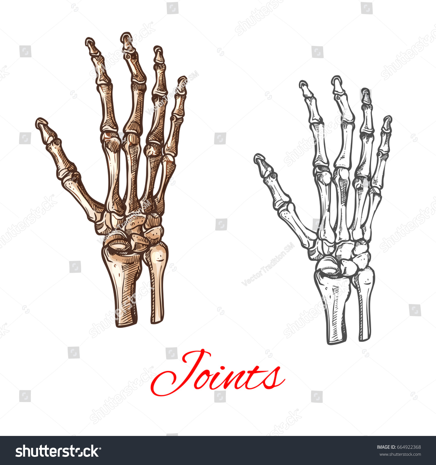 Hand Bones And Joints Diagram Human Skeleton Vector Stock Royalty Free Rh Shutterstock Com